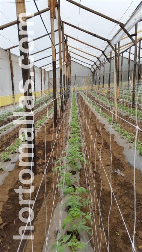 Trellis Netting by Trellising Hydroponic Tomatoes With Hortomallas Grow Netting
