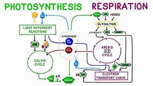 Photosynthesis Vs  Cellular Respiration Comparison