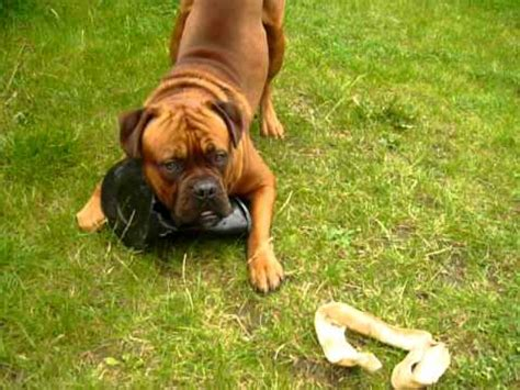 bullmastiff  dogue de bordeaux   months showing pot