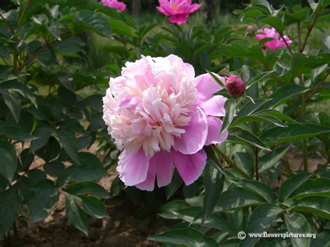 peony planting peony pictures peony flower pictures