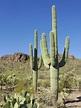 Saguaro - Wikipedia
