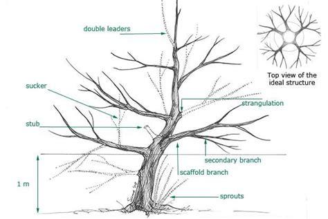 olive tree pruning pot soek pa google bonsais jardines