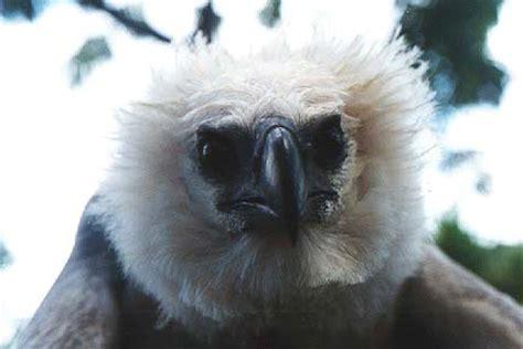 harpy eagle harpia harpyja  explore raptors facts