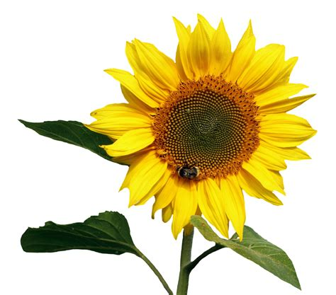 Sunflower Transparent PNG Image - PurePNG | Free ...