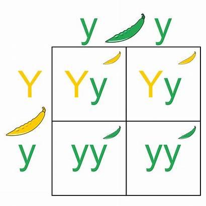 Punnett Square Wikipedia