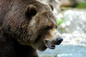 WildLife: Grizzly Bears Facts & Wallpapers
