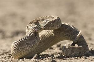 Rattlesnake Striking | www.imgkid.com - The Image Kid Has It!