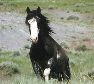 Amazing Wild Black White-Blazed Mustang. | Horses ...