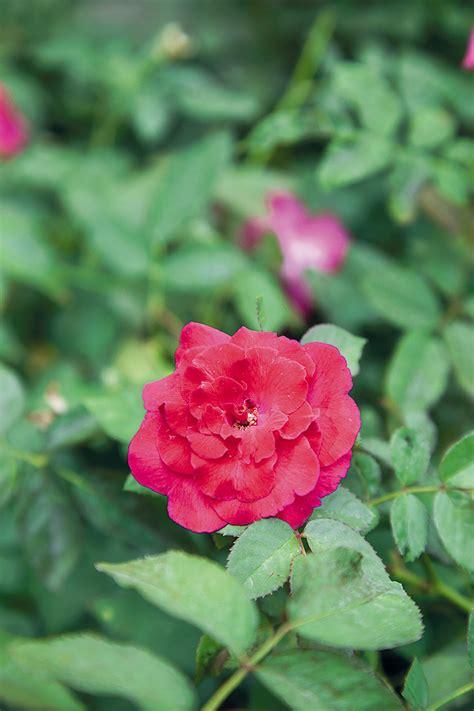 จัดสวน: ปลูกกุหลาบอย่างไร ให้ออกดอกสวยทั้งปี
