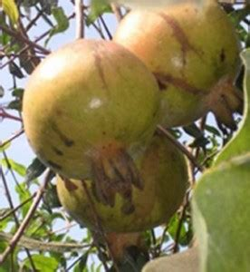 buah delima fransiska macam macam buah delima