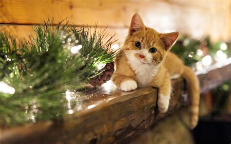 Christmas Cat Wallpaper  Hd Desktop Wallpapers  4k Hd