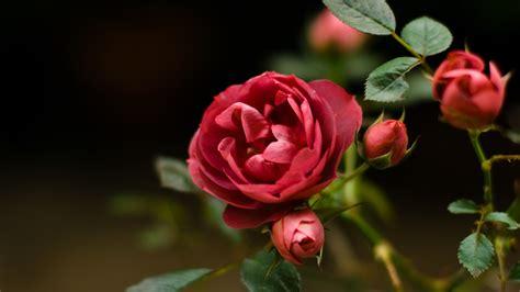 วอลเปเปอร์ : ดอกไม้, สีแดง, ดอกกุหลาบ, เบ่งบาน, ปลูก, ตา ...