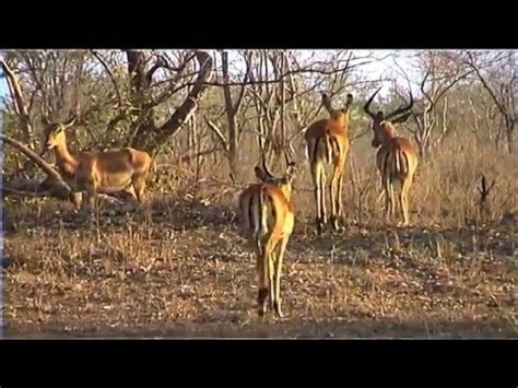 African Wildlife HD Part 1 South Africa Kruger Park 24
