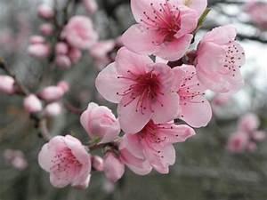 Fleur De Cerisier Signification : ma jolie fleur de cerisier trucs que j 39 aime pinterest ~ Melissatoandfro.com Idées de Décoration