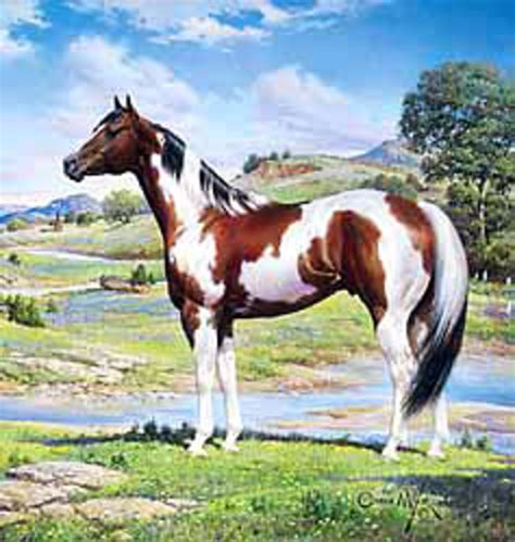 horse paint american apha breed riding expert