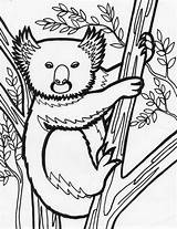 Koala Bear Coloring Pages Animal Sheet Print Coloriing sketch template