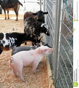 Baby Pigs  Goats And Sheeps Ask A Horse For Advice Stock