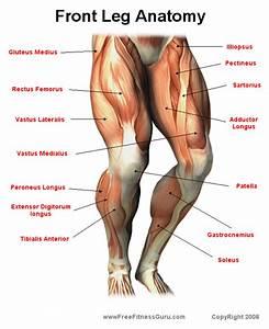 Anatomy Front Leg