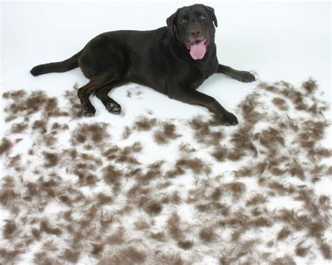 dog shedding tips for a cleaner house dogs information