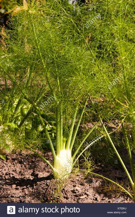 Garten Fenchel Pflanzen by Useful Plant Stockfotos Useful Plant Bilder Alamy