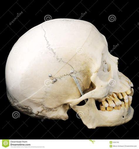 human skull side view stock photo image