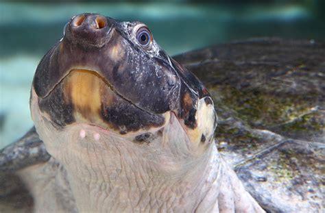 national aquarium giant south american river turtle