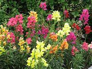 Snapdragon Plant Colors