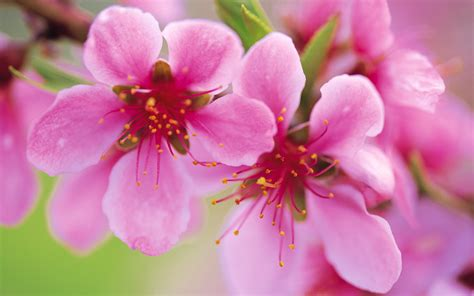 Awesome Peach Flowers Wallpaper  Full Hd Pictures