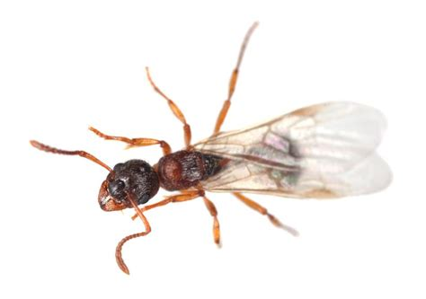 ant with wings ants hometeam pest defense