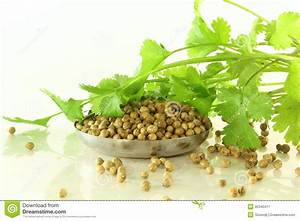 Herb Coriander With Seeds Royalty Free Stock Photography ...
