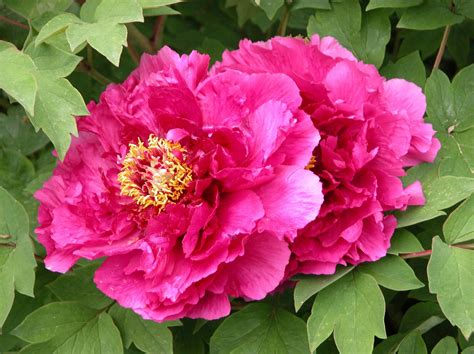 do peonies like sun or shade paeonia horticulture 131