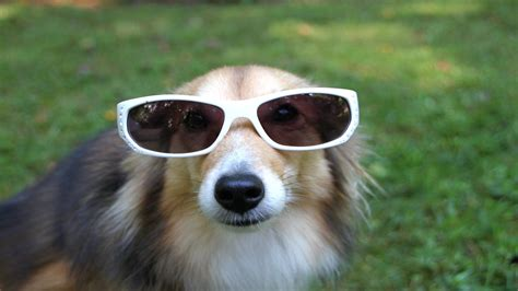Funny Dog With Sunglasses 1920 × 1080 Wallpaper