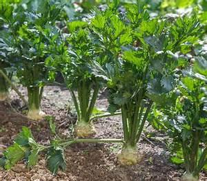 Culture Celeri Branche : c leri semis culture et r colte rave et branche ~ Melissatoandfro.com Idées de Décoration