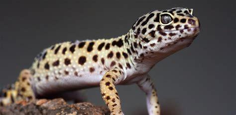 do leopard geckos shed skin 100 do leopard geckos shed skin 100 do leopard