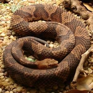 080. Northern Copperhead Snake.JPG | Flickr - Photo Sharing!