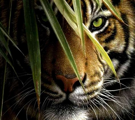 gambar wallpaper harimau gudang wallpaper