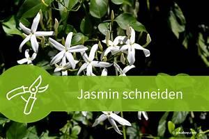 Jasmin Pflanze Winterhart : jasmin schneiden regelwerk f r den echten falschen und winterjasmin ~ Frokenaadalensverden.com Haus und Dekorationen