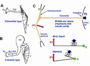 Middle Ear Configurations And Function  A  Nonmammalian