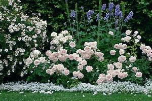 Begleitpflanzen Für Rosen : beetrose ballade rosa ballade g nstig online kaufen ~ Orissabook.com Haus und Dekorationen