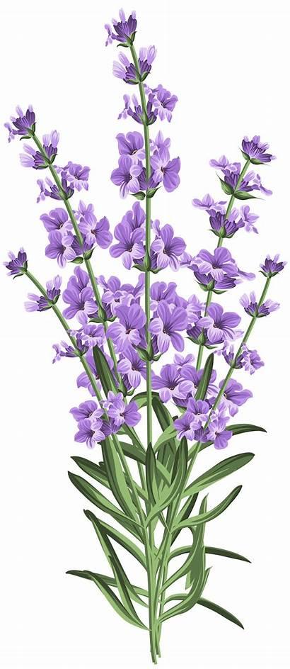 Clipart Lavender Lavendar Transparent Flower Clip Yopriceville
