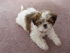 Shih Tzu Dogs Breed Information, Personality, Pictures ...