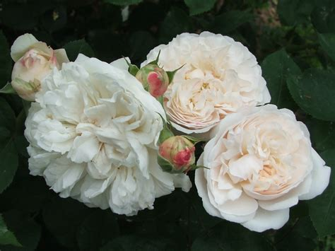 white garden roses 301 moved permanently