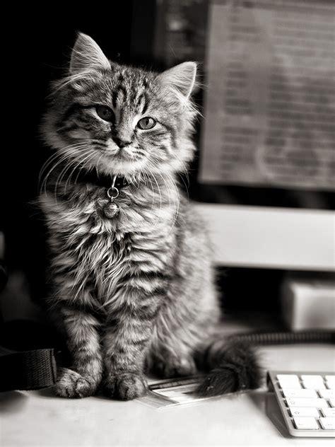 maine coon apple computer keyboard hd cat wallpaper
