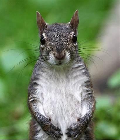 Mammals Squirrel Gray