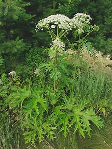 A short Homeopathic Proving for Heracleum mantegazzianum ...