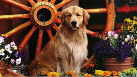 golden labrador  golden retriever  labrador