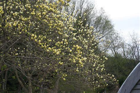 magnolia yellow varieties rocky dale gardens