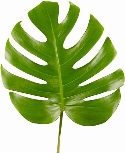 Monstera Leaf Transparent Plant Cheese Swiss Clipart