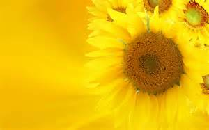 sunflowers design gele achtergronden hd wallpapers