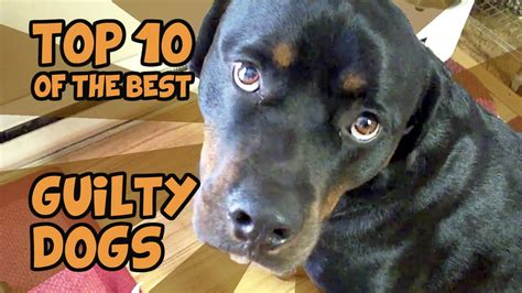 The Top 10 Guiltiest Guilty Dogs Of All Time Youtube